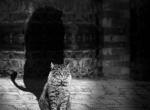 cat lion